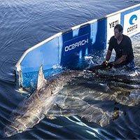 Khoa học giờ dùng đến cả vệ tinh để giúp cá mập không bị tuyệt chủng