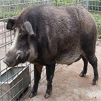 Khoa học thuần hóa lợn rừng thành lợn nhà thế nào?