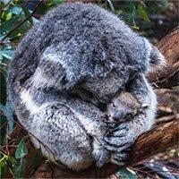 Khoa học tuyên bố gấu koala chính thức