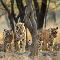 Khoa học xác nhận có 9 loài hổ trên Trái đất, 3 loài đã tuyệt chủng
