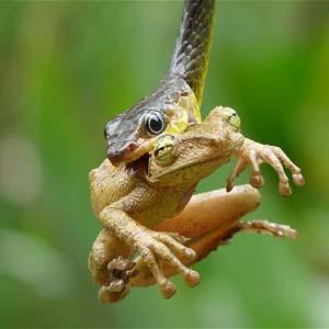 Khoảnh khắc ếch cây bị rắn nuốt chửng