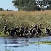 Khoảnh khắc hiếm: Khỉ đầu chó tấn công cá sấu, giải cứu đồng loại