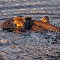 Khoảnh khắc rái cá cố gắng ăn thịt cá mập sừng