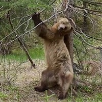 Không chỉ riêng con người, gấu nâu cũng biết
