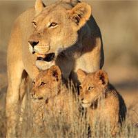 Không chỉ tê giác và hổ, sư tử châu Phi cũng sẽ sớm biến mất thôi