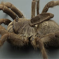Kì lạ loài nhện độc có sừng mọc trên lưng