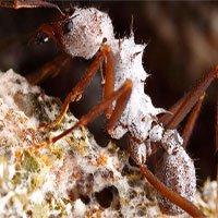 Kiến biết dùng… kháng sinh trước cả con người