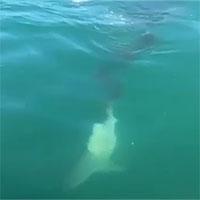 Kinh dị cảnh cá mập cắn cụt đuôi đồng loại, nhai