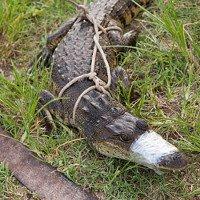 Kinh hoàng hồ máu ở Mexico kích thích 300 cá sấu