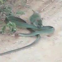 Kinh ngạc cảnh chuột tấn công, cắn xé rắn