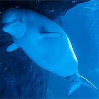 Kinh ngạc khoảnh khắc cá voi chui ra từ bụng mẹ
