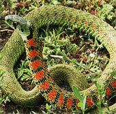"""Kinh ngạc loài rắn hổ biết """"ăn trộm"""" chất kịch độc"""