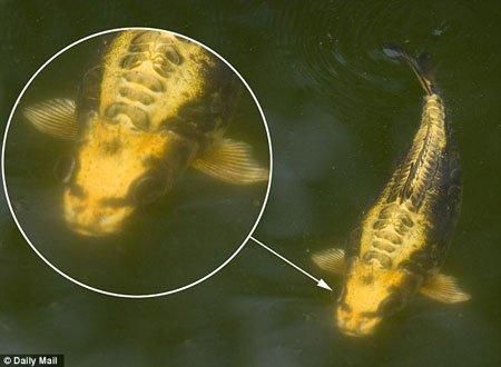 Kinh ngạc với cá chép hình mặt người