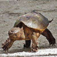 Kỳ dị loài rùa bị đứt đầu vẫn sống
