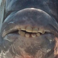 Kỳ lạ cá với hàm răng giống người, có thể 'nhai cả thế giới'