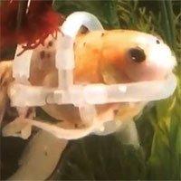Kỳ lạ con cá phải