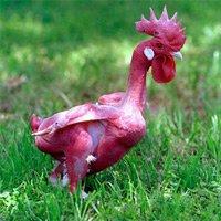 Kỳ lạ giống gà lai trụi lông, da đỏ rực như chim phượng hoàng