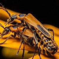 Kỳ lạ loài bọ Zombie có hành vi