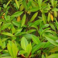 Kỳ lạ loài cây duy nhất ở Việt Nam có khả năng đặc biệt: Sinh và nuôi