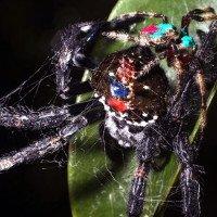 Kỳ lạ loài nhện quan hệ bằng miệng 100 lần