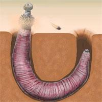 Kỳ lạ loài sinh vật có ngoại hình giống bộ phận nhạy cảm của đàn ông