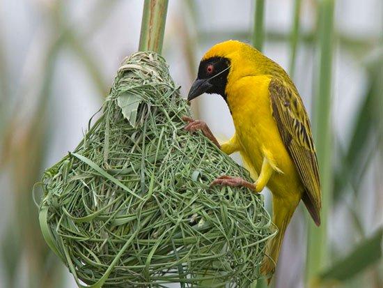Kỹ năng làm tổ của chim không phải di truyền