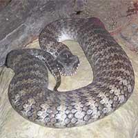 Kỳ quặc loài rắn kịch độc chỉ nằm nhử con mồi