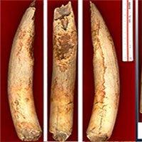 Kỹ thuật làm mềm ngà voi bí ẩn cách đây 12.000 năm