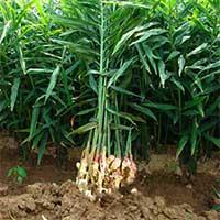 Kỹ thuật trồng gừng