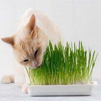 Là động vật ăn thịt nhưng tại sao nhiều boss mèo lại thích ăn cỏ?
