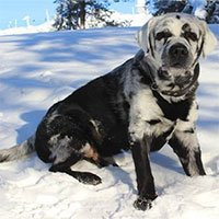 Lạ kỳ chú chó tự chuyển màu bộ lông từ đen sang trắng