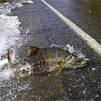 Lạ kỳ đàn cá hồi băng qua đường ngay trước mũi ô tô