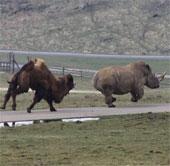 Lạc đà tức giận đuổi đánh tê giác chạy té khói