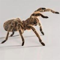 """Làm thế nào mà loài nhện Tarantula nhỏ bé có thể """"đi khắp đó đây""""?"""
