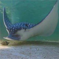 Lần đầu ghi âm tiếng cá đuối nghiền nát vỏ ốc dưới nước