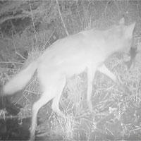 Lần đầu ghi hình chó sói săn cá trong công viên Mỹ