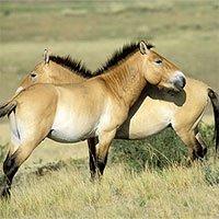 Lần đầu nhân bản thành công loài ngựa nguy cấp