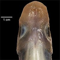 Lần đầu phát hiện cá mập không có da và răng
