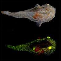 Lần đầu phát hiện cá phát quang sinh học ở Bắc Cực