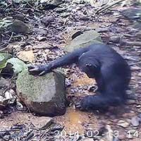 Lần đầu phát hiện tinh tinh bắt cua để ăn trong tự nhiên