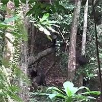 Lần đầu tiên các nhà khoa học chứng kiến, tinh tinh hợp sức đoạt mạng khỉ đột