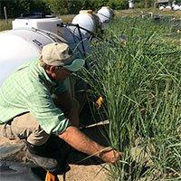 Lần đầu tiên phát triển thành công loại cỏ biến đổi gene hút chất độc hại