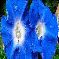Lần đầu tiên sử dụng công nghệ chỉnh sửa gene để thay đổi màu sắc của hoa