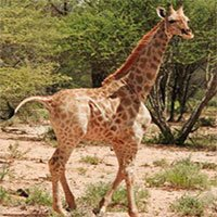 Lần đầu tiên tìm thấy hươu cao cổ… chân ngắn trong tự nhiên