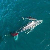 Lần đầu tiên trong lịch sử ghi lại cảnh cá mập trắng khổng lồ hạ gục cá voi: Cách ra tay cực tàn nhẫn!