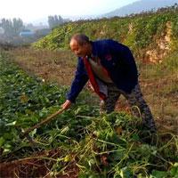 Lão nông đi đào khoai bỗng thấy mặt đất