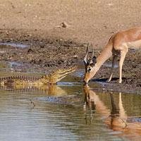 Linh dương Impala chết thảm trước 'sát thủ đầm lầy' vì… sừng quá dài