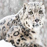 Loài báo quý hiếm nhất thế giới chính thức được gạch tên khỏi Sách Đỏ