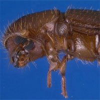 Loài bọ cánh cứng kỳ lạ biết