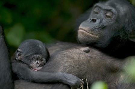 Loài Bonobo rất gần gũi với con người